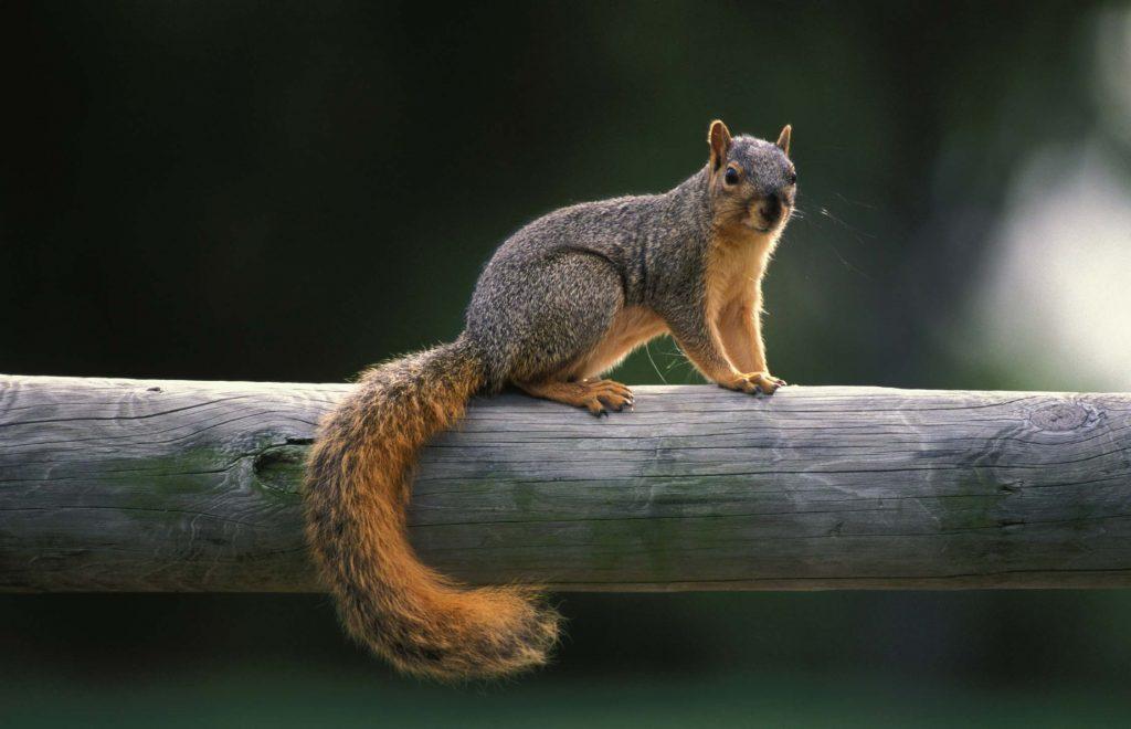 Lexington Squirrel Removal